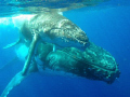 Southern hemisphere humpback whale (Megaptera novaeangliae) Mother and calf - synchronizing